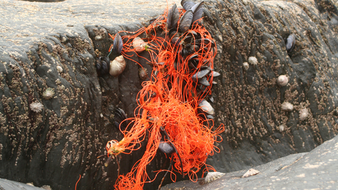 image of Marine litter - fishing ghost gear on shore mussels