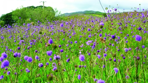 image of purple wild flowers in a meadow with woodland in background