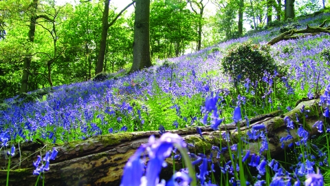 image of bluebell wood - barkbooth lot -c- michelle waller