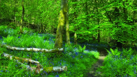 image of a Bluebell wood at Dorothy farrers spring wood - copyright john morrison