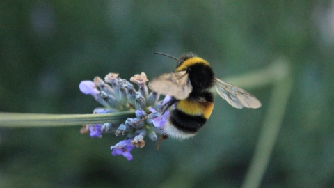 Bee on lavender flower - copyright Michelle Waller
