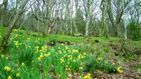 image of ivy crag wood reserve landscape in spring with daffodils