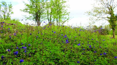 image of blue flowers at latterbarrow nature reserve - copyright michelle waller