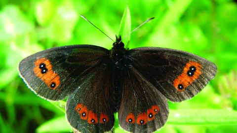 Image of Scotch argus butterfly at Smardale Nature Reserve