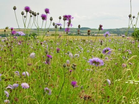 wild flowers in a Coronation Meadow  2005- copyright Barrie Wilkinson