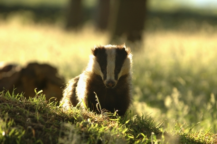 image Portrait of an alert adult badger backlit by evening sunlight Derbyshire UK - copyright Andrew Parkinson/2020VISION