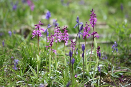 image of Early purple orchids - copyright Jim Higham