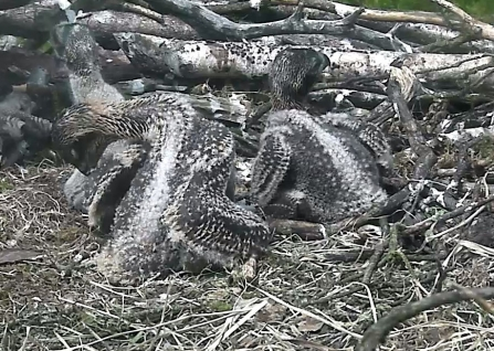 Differences in osprey chick down