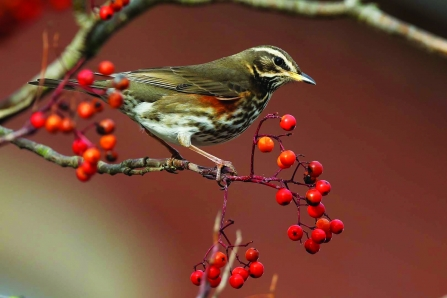 redwing on a berry tree -copyright margaret holland