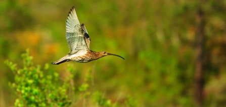 curlew in flight - copyright jon hawkins surrey hills photography