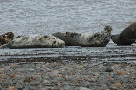 image of Grey seals at south walney -c- Stephen Westcott