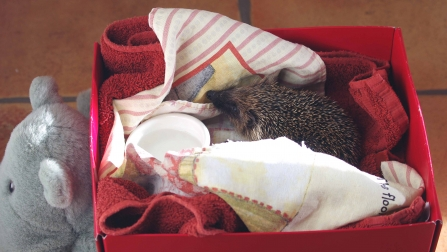 image of a hedgehog in box -copyright gillian day