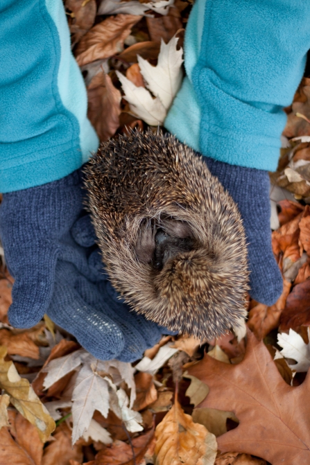Curled up Hedgehog in the hands of a person wearing gloves in autumn -copyright Tom Marshall