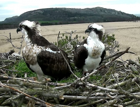 image of Ospreys blue 35 and white yw at foulshaw moss nature reserve nest
