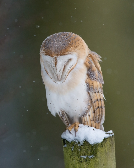 Barn owl - copyright Don Sutherland