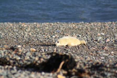 grey seal pup on shingle beach