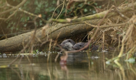 Otter and otter cub in a river -copyright  Luke Massey/2020VISION