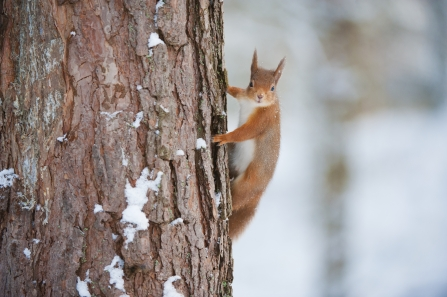 Red squirrel climbing a scots pine tree -c- Mark Hamblin/2020VISION