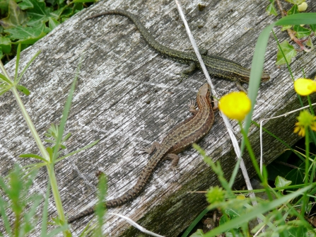 Common lizards on boardwalk with yellow flowers