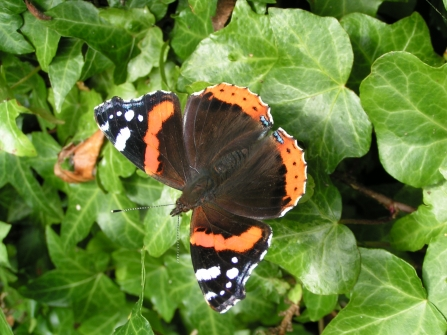 image of a Red admiral butterfly resting on ivy plant - copyright Richard Burkmar