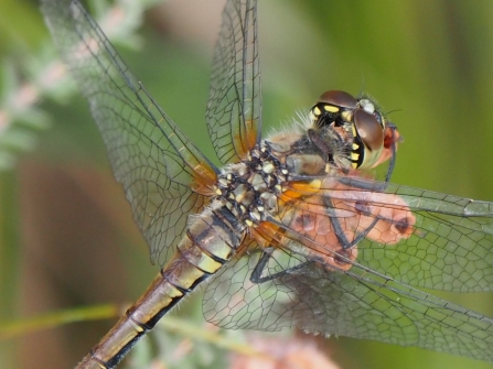 Darter dragonfly - copyright Michael Redman