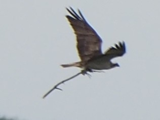 Osprey in flight carrying a stick - copyright Michael Redman