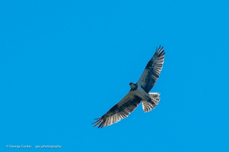 Osprey in flight against blue sky background - copyright George Cocker