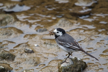 Pied wagtail collecting food for chicks - copyright Tom Hibbert