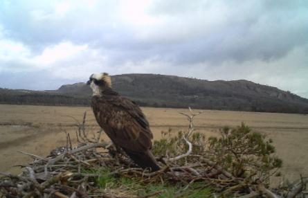 Photo of an osprey on its nest at Foulshaw