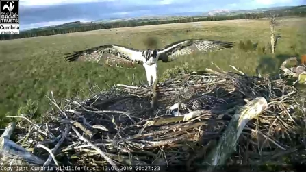 Blue 3N osprey at Foulshaw Moss nest spreads her wings - 2019