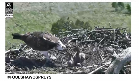 Foulshaw Ospreys adult feeds chicks in the nest 2019