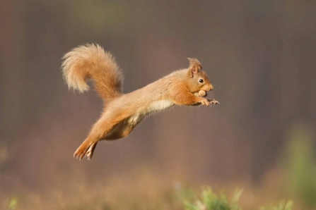 Image of red squirrel jumping © Peter Cairns/2020VISION