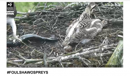 Blue 3N overpowering younger sibling Blue 2N at fish feeding time - Foulshaw Moss ospreys 2019