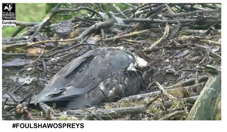 Blue 35 osprey shelters chicks  in nest in rainy weather at Foulshaw Moss