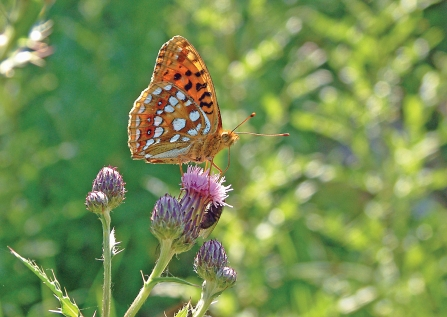 image of high brown fritillary butterfly