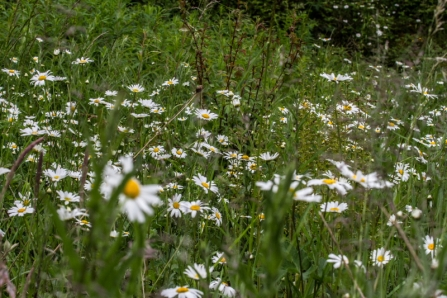 Oxeye daisies Clints Quarry 2013