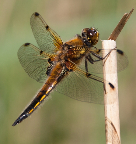 Dragonfly. Foulshaw Moss 2013