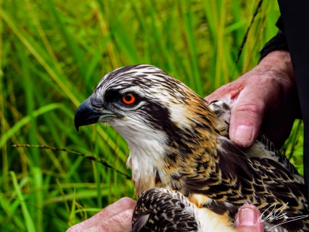 Blue N0(zero) Osprey being ringed 2017