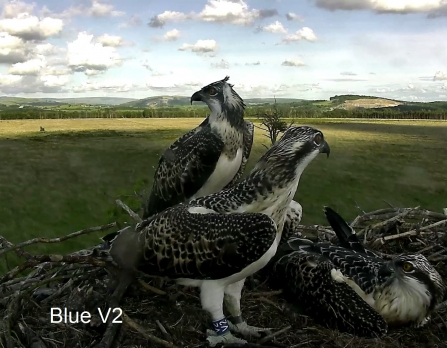 Blue V2 Osprey chick 2015 on nest