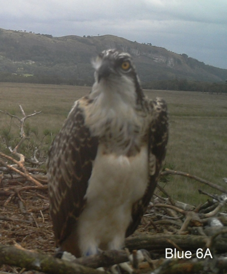 Osprey chick Blue 6A on nest 2014