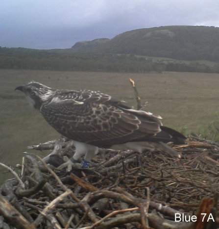 Osprey chick Blue 7A on nest 2014