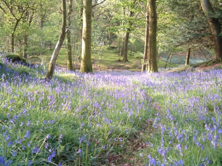 Bluebells at Barkbooth Lot Nature Reserve