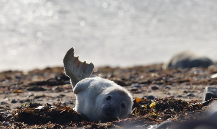 Image of seal pup at South Walney Nature Reserve © Cumbria Wildlife Trust