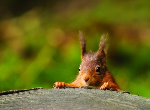 image of red squirrel eating - copyright andy naylor