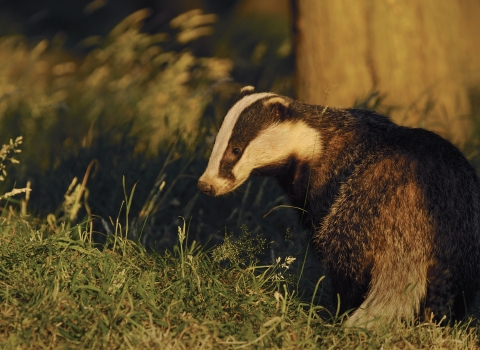 image of a profile of a sub-adult badger in evening light - copyright Andrew Parkinson - 2020VISION