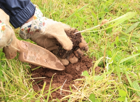 Close up image of a volunteer's hands in gardening gloves planting a meadow flower plug plant