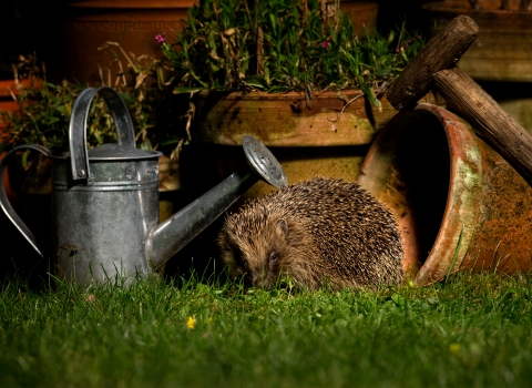 image of a Hedgehog in garden next to watering can and plant pots -copyright jon hawkins surrey hills photography