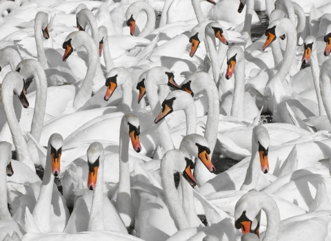 image of mute swans copyright Guy Edwardes 2020VISION