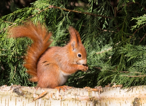 Image of Red squirrel on a log with green background - copyright Charles Thody Photography