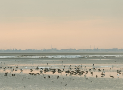 Image of ducks and waders feeding on mudflats in Morecambe Bay. Copyright Peter Cairns/Northshots/2020VISION